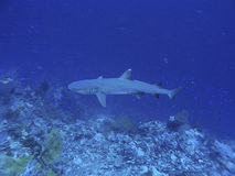 Reef shark. White tip reef shark swimming in the blue stock image