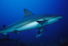 Reef shark. Taken jan 2009 Roatan honduras CA royalty free stock image