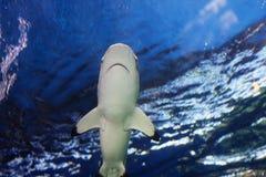 Reef shark approaching ocean surface Stock Image