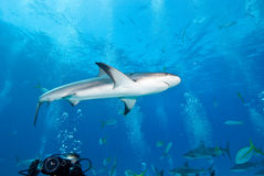 Reef Shark in Caribbean. Stuarts Cove Diving Stock Photography