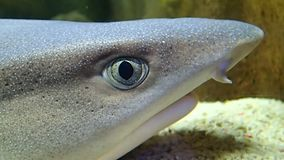 Reef shark head. A reef shark  head breathing stock video footage