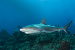 Reef Shark Profile. A Caribbean Reef Shark (Carcharhinius perezi) swims along a reef in the clear blue water of the Bahamas stock image