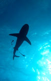 Reef shark silhouette. Single reef shark silhouetted against blue sunlight filtering through the ocean; Great Barrier Reef, Australia royalty free stock photo
