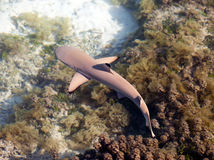Reef shark , the top view through crystal-clear water Royalty Free Stock Photos
