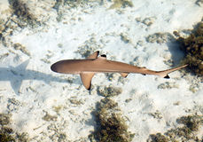 Reef shark , the top view through crystal-clear water Royalty Free Stock Image