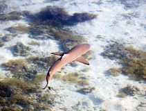 Reef shark , the top view through crystal-clear water Royalty Free Stock Photo