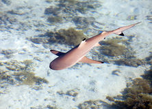 Reef shark , the top view through crystal-clear water Stock Image