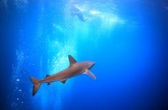 Reef shark underwater. Black-tip reef shark underwater and snorkeler filming Stock Photo