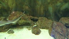 Reef shark. A reef shark in water stock video footage