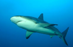 Reef Sharks Stock Photos