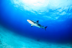 Reef Sharks in blue water. Caribbean Reef Shark over a sandy seabed Stock Photography