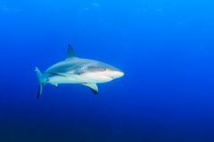 Reef Sharks in blue water. Reef Shark in Blue Water Royalty Free Stock Images