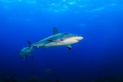 Reef Sharks in blue water Stock Photo