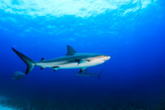 Reef Sharks in the Ocean. Reef sharks swimming in blue water Stock Photography