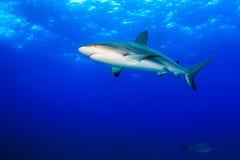 Reef sharks in open ocean Stock Image