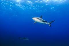Reef sharks in open ocean Stock Photos