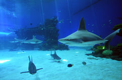 Reef sharks swim in Shark Poo in Eilat, Israel. EILAT, ISR - APRIL 16 2015:Reef sharks swim in the Shark Pool of Coral World Underwater Observatory aquarium in Royalty Free Stock Photo