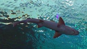 Reef sharks swim in Shark Pool in Eilat, Israel. Reef sharks swim in the Shark Pool of Coral World Underwater Observatory aquarium in Eilat, Israel stock video
