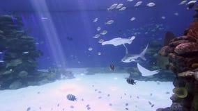 Reef sharks swim in the Shark Pool in Eilat, Israel stock video footage