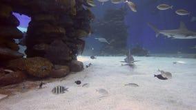 Reef sharks swim in the Shark Pool in Eilat, Israel. EILAT, ISR - APRIL 16 2015:Reef sharks swim in the Shark Pool of Coral World Underwater Observatory aquarium stock footage