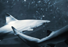 Reef sharks (Triaenodon obesus) Stock Photography