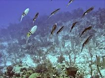Reef Squid Hovering over Coral Reef stock image