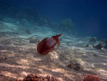 Reef squid swimming royalty free stock photo