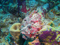 Reef Stonefish, Great Barrier Reef, Australia Stock Images
