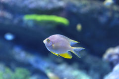 Reef tank fish Royalty Free Stock Photo