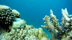 Reef,   Tropical fish. Coral reef. Exotic fishes. The beauty of the underwater world. Life in the ocean. Diving on a tropical reef. Submarine life. Clear water stock video footage