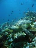Reef turtle underwater sipadan borneo