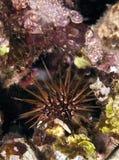 Reef Urchin Stock Photo