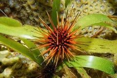 Reef urchin Echinometra viridis Stock Photo