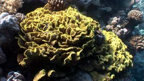 Reef of various corals underwater Red sea. Colorful world of wild marine nature on background of beautiful lagoon. Awesome video of wildlife in Egypt stock video