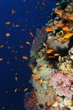 Reef wall with anthias - Red Sea Stock Images