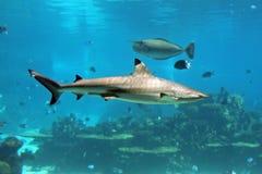 Reefie. Blacktip Reef Shark (Carcharhinus melanopterus) swimming over tropical coral reef royalty free stock photos