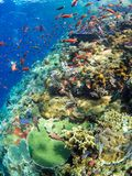 Typical coral reef in Komodo National Park. The reefs in Komodo National Park are some of the most diverse and abundant on earth and seem to explode with vibrant Royalty Free Stock Photography