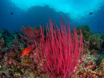 Riotous colours and forms. Misool, Raja Ampat, Indonesia. The reefs in the Misool Marine Protected Area within Raja Ampat, Indonesia, are the richest on earth royalty free stock photo