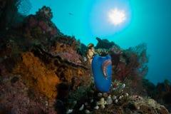 Reefscape con un tunicato blu fotografie stock