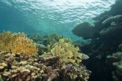 Reefscape en los shallows, subacuáticos. Fotografía de archivo libre de regalías