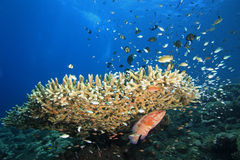 Reefscene with Fish and Corals Royalty Free Stock Photos