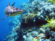 ReefShark. Shark swimming over reef with fish Stock Photo