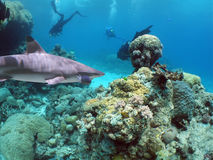 Reefshark. Divers being followed by blacktip reef shark Stock Photo