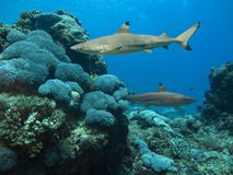 Reefsharks. Blacktip Reef Sharks (Carcharhinus melanopterus) swimming over tropical coral reef, blue background royalty free stock image