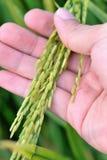 Reeks 1 van het Gebied van de padie stock afbeeldingen