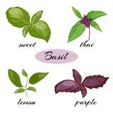 Reeks basilicumbladeren Verschillende types van basilicum royalty-vrije illustratie