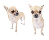 Reeks beelden fawn met de witte hond van borstChihuahua Stock Afbeeldingen