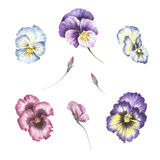 Reeks bloemen pansies De hand trekt waterverfillustratie Royalty-vrije Stock Fotografie