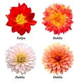 Reeks bloemen: papegaaitulp, dahlia's Stock Afbeeldingen