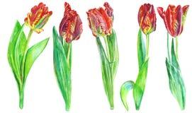 Reeks bloemen van waterverftulpen Stock Afbeelding